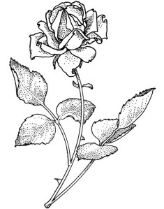 Rose - blk& wht