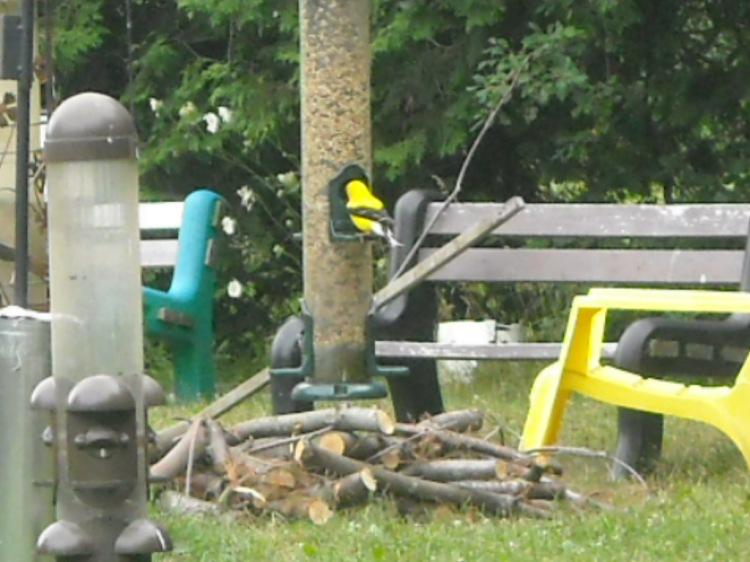 Goldfinch tuckin in