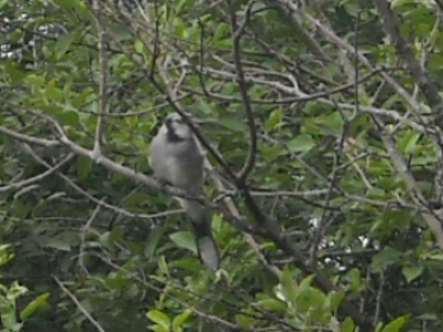 Jay in our apple tree