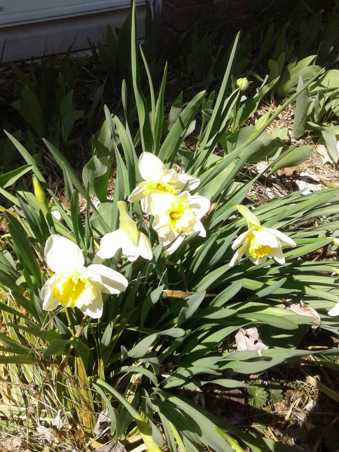 Narcissus in our garden