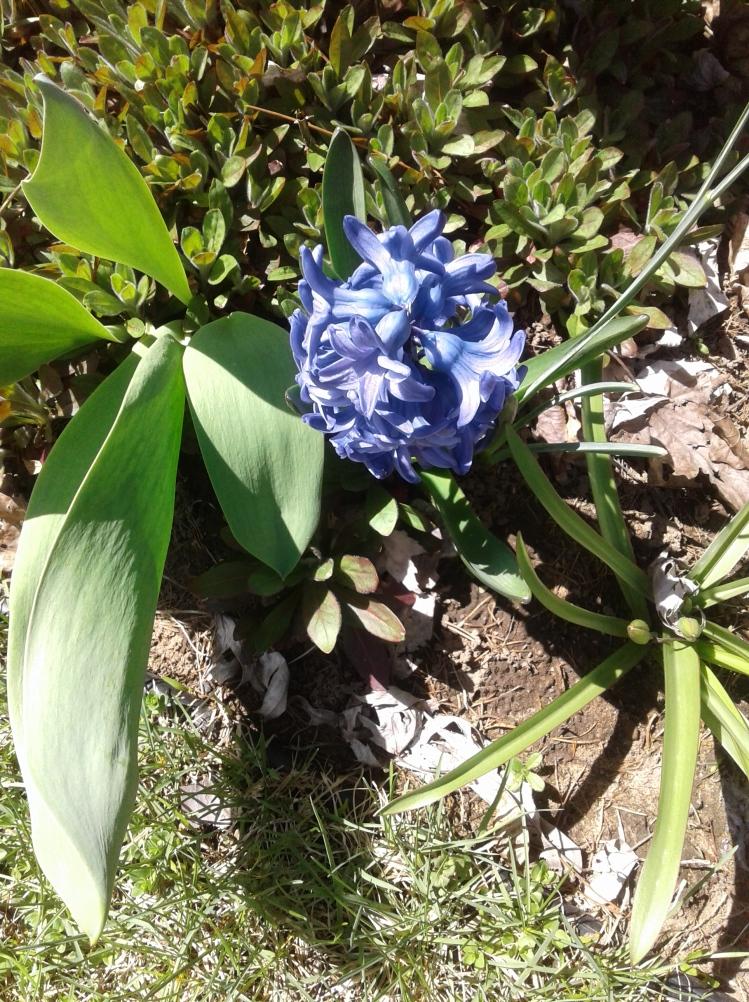 Purple hyacinth in our spring garden
