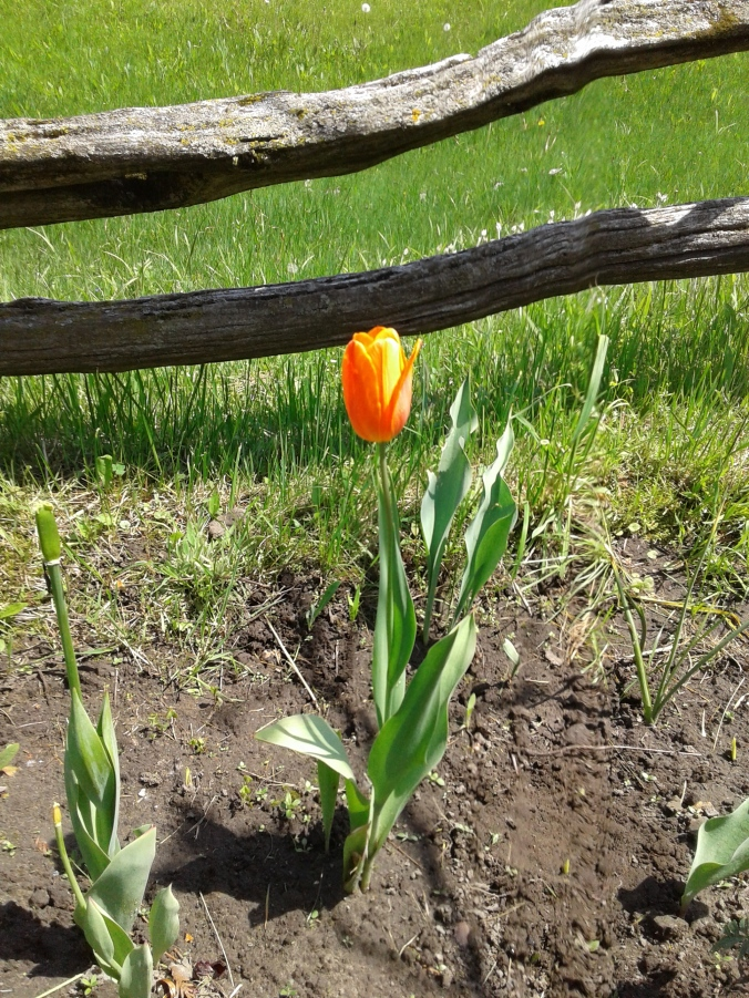 Bright orange tulip
