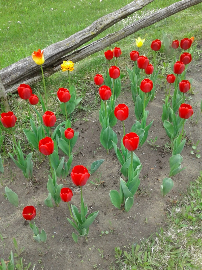 Fenceline tulips