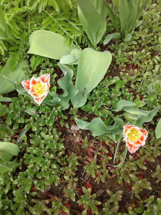 Frilled tulips