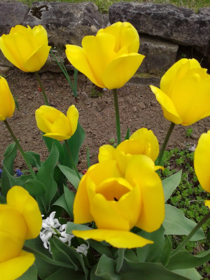 Golden tulips 2017
