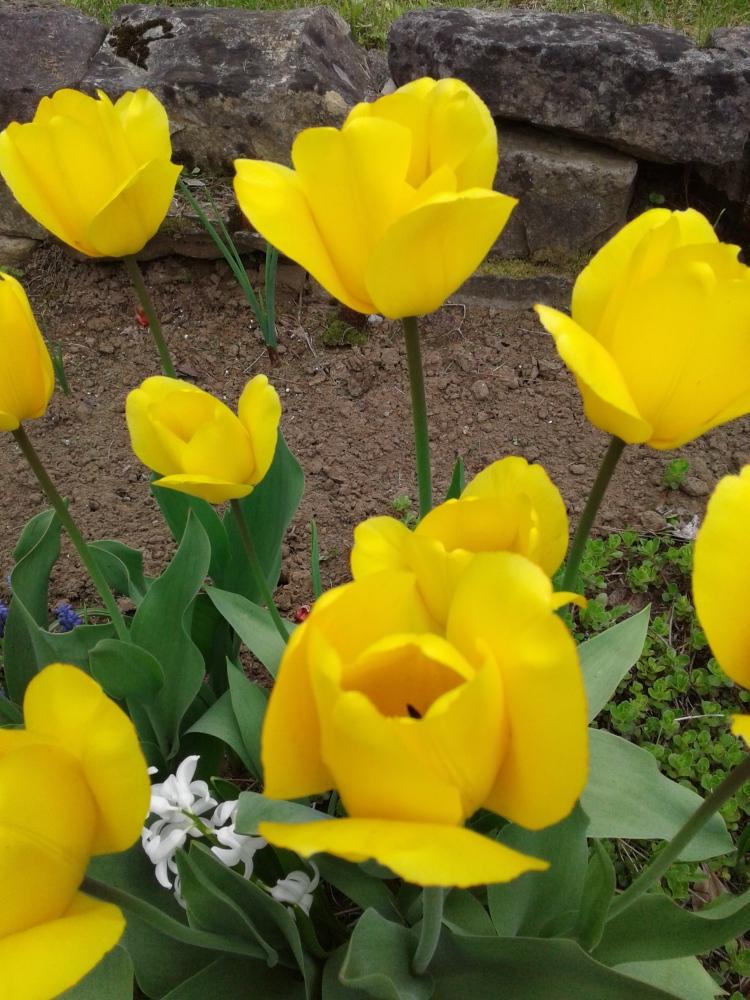 Golden tulips 2017
