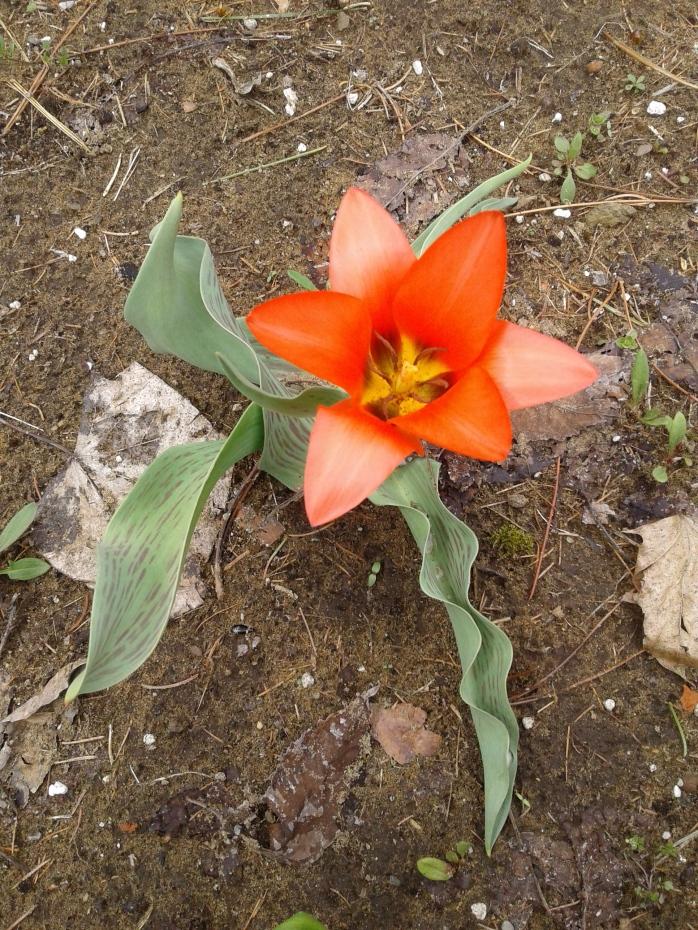 orange tulip cup