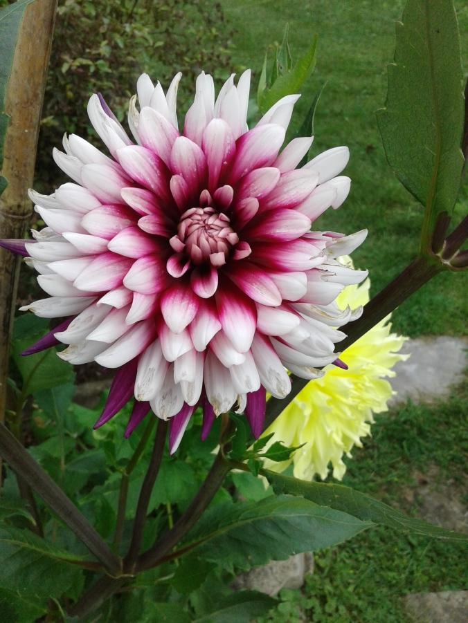 Almost completely open dahlia.jpg