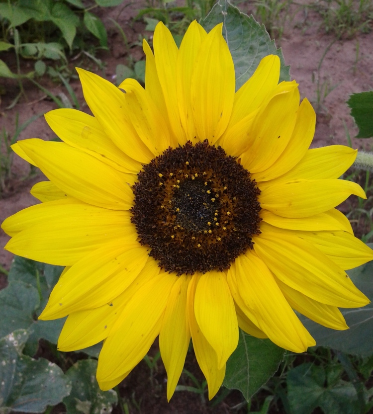 Sunflower cropped