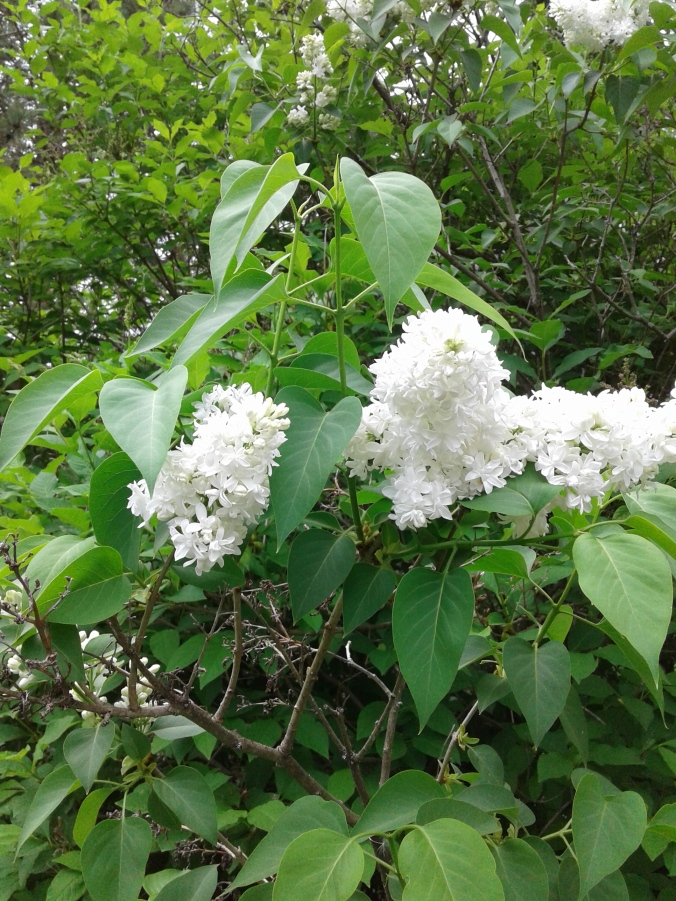 a cluster of white lilacs