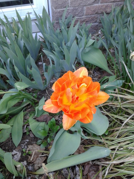 double orange tulip 2018