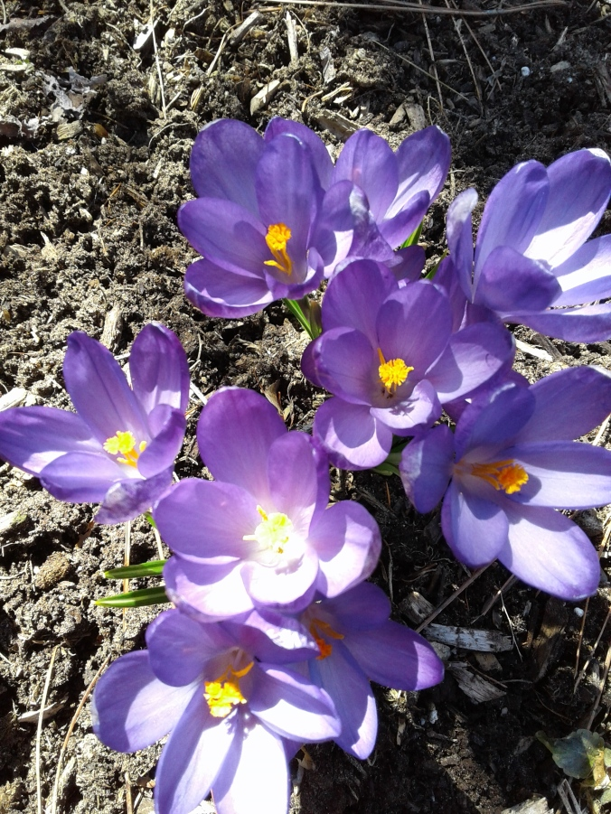 First Crocus close-up