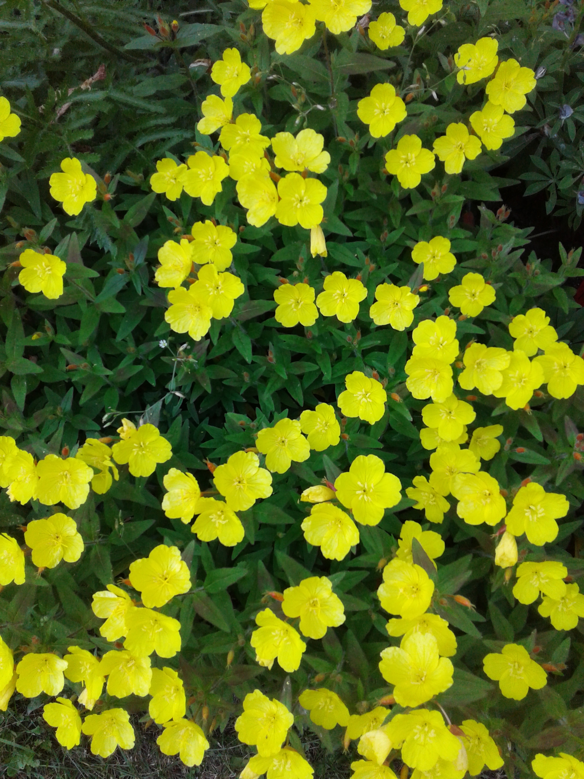 Sundrops all over 2018