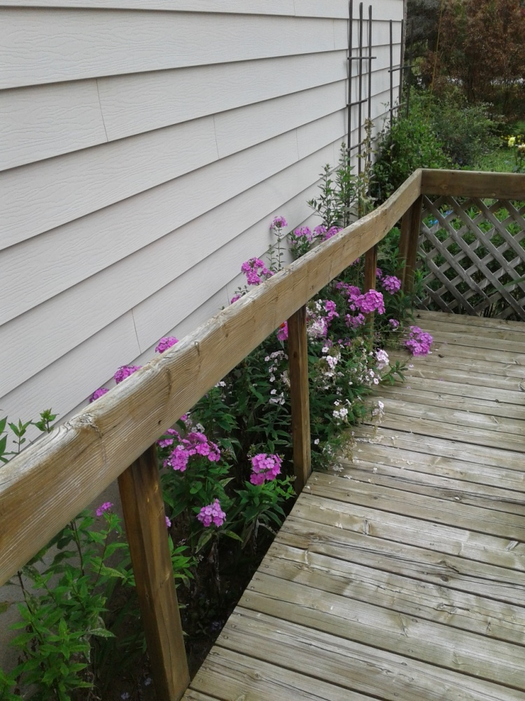 Phlox between the ramp and house 2018