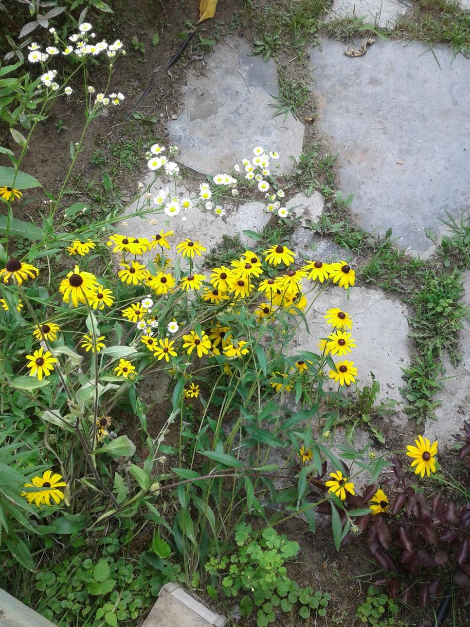 Black-eyed Susans and daisies 2019