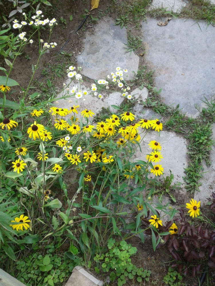 Black-eyed Susans and daisies 2019