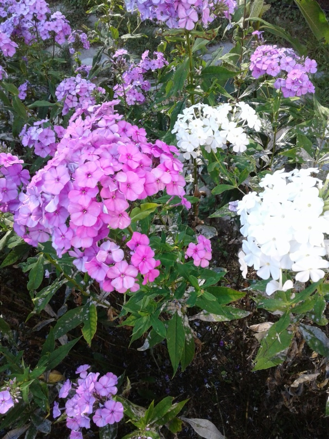 Mauve and white phlox again 2019