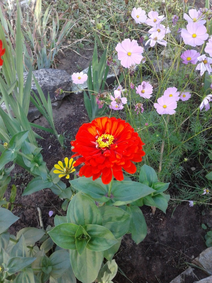 Red Zinnia and cosmos #2