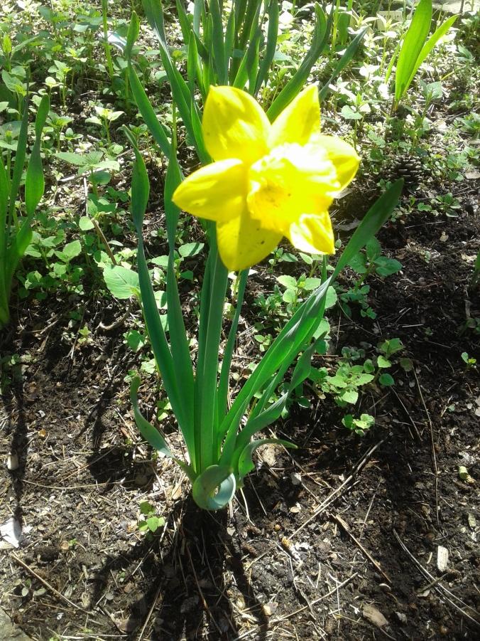 2020 bright yellow daffodil