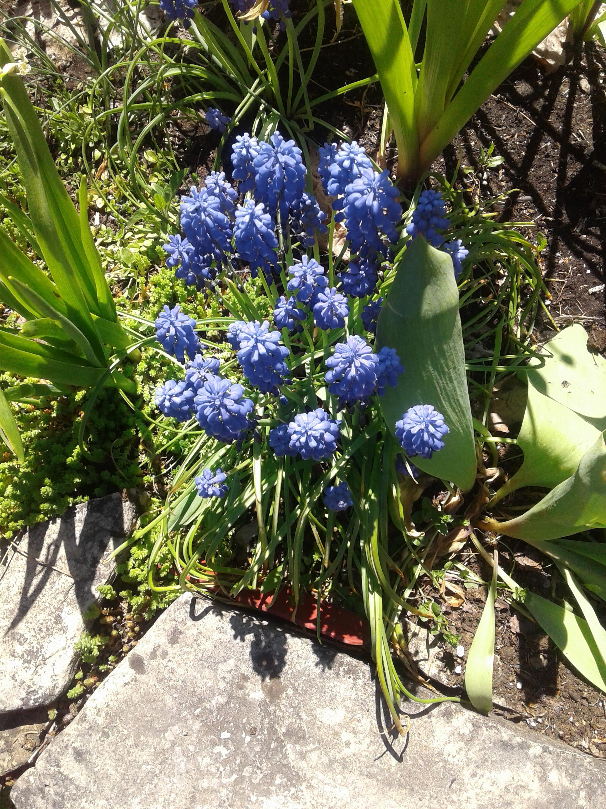 2020 hyacinth