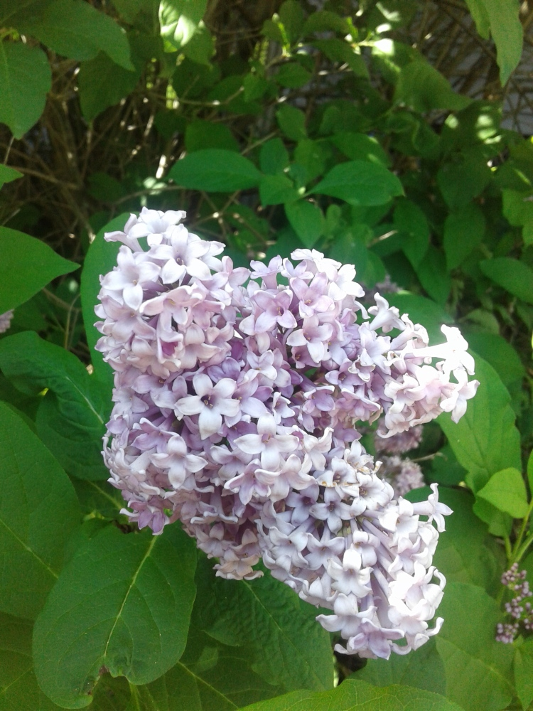 close up of lilacs 2020