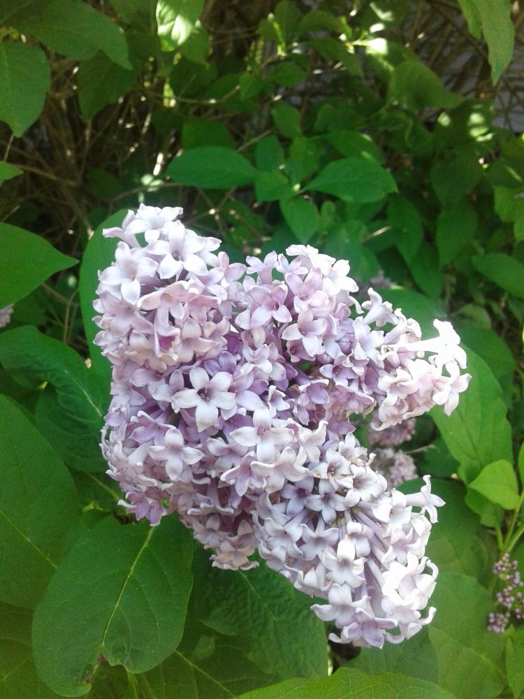 close up of lilacs 2020