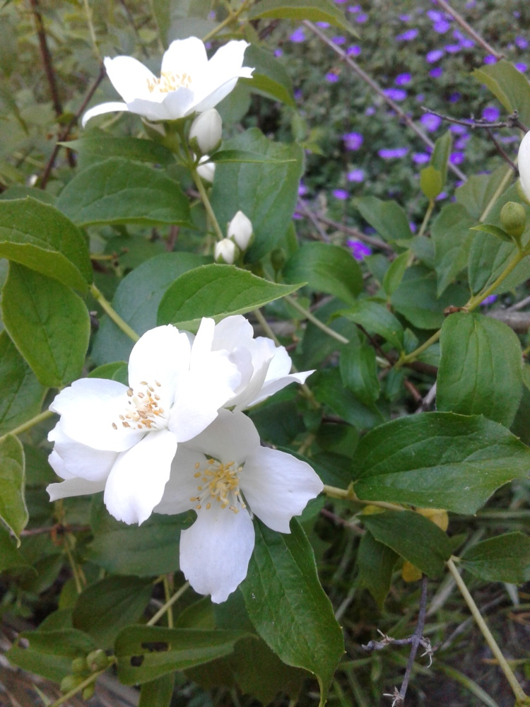 mock orange blossoms closeup 2020